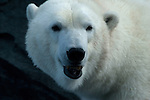 Polar Bear staring at the camera with an open mouth as if it were talking.  Captive