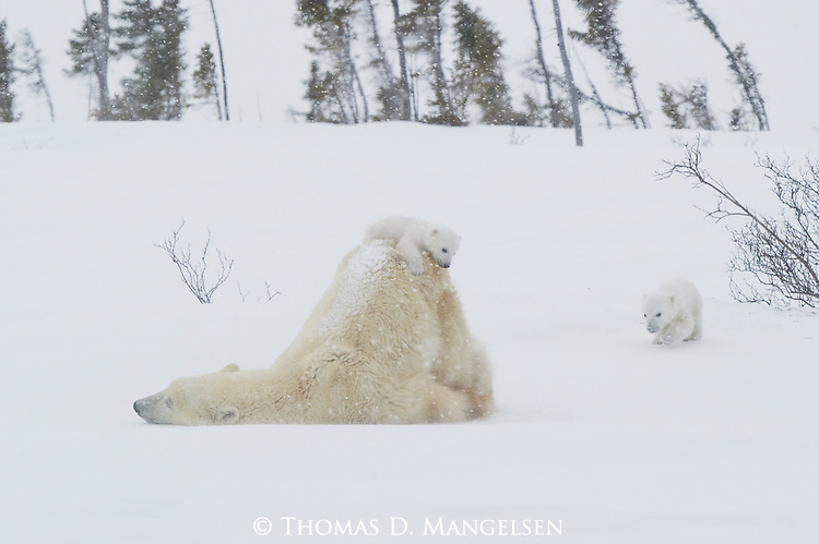 As the wind picks up and a blizzard approaches, a tiny polar bear cub returns to the comfort of her mother, who rises from her slumber with another tiny cub on her back and moves her family to the protection of a nearby black spruce forest in Manitoba, Canada.