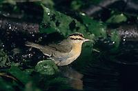Worm-eating Warbler, Helmitheros vermivora, adult bathing, High Island, Texas, USA, April 2001