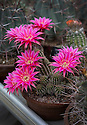 """16/05/16 <br /> <br /> Lincoln Stardust.<br /> <br /> Chamaelobivia.<br /> <br /> Britain's biggest cactus grower attributes the recent hot weather for his current winning streak at national flower shows, something he hopes to repeat later this month at RHS Chelsea.<br /> <br /> Full story here:  http://www.fstoppress.com/articles/winning-streak-for-blooming-cactus/<br /> <br /> .But a few days ago it was almost too hot for his prickly blooms and he had to pump in cooler air from outside to cool down his giant 22,000 sq ft greenhouse.<br /> <br /> And now, as you enter the greenhouse, you're met with a brilliant display of colour, almost every cactus is in full bloom, a patchwork of bright yellow and orange, subtle pinks and deep red flowers.<br /> <br /> """"There's probably about one hundred thousand plants in here, and most of them are already showing flowers,"""" said owner Bryan Goody, who runs the nursery with his wife Linda and daughter Eleanor.<br /> <br /> <br /> All Rights Reserved: F Stop Press Ltd. +44(0)1335 418365   +44 (0)7765 242650 www.fstoppress.com"""