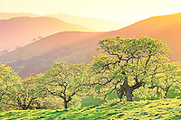 Spring trees at sunset on Mt. Burdell State Park with California Valley Oak, Quercus lobata, deciduous tree,