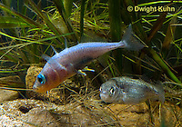1S53-511z  Threespine Stickleback, male showing gravid female the entrance to his nest, Marine form, Gasterosteus aculeatus