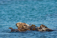 Southern Sea Otter (Enhydra lutris nereis) mother with young, playful pup.  Central California Coast.   Mom is trying to rest while being wrapped in kelp.