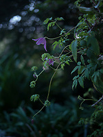 Detail of a fragile purple flower against the dense green of the garden