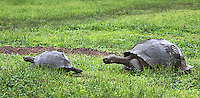 Giant tortoises are slowly making a comeback after nearly being hunted to extinction by early visitors to the islands.  Here, a male chases a female in slow motion.