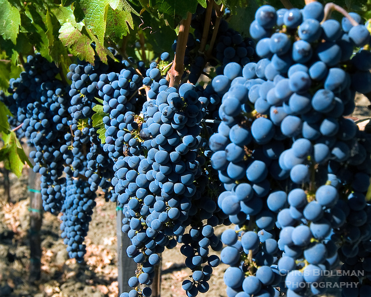Red wine grape clusters all in a row at a vineyard in Mendocino County, CA
