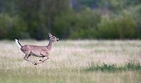 A white-tailed doe runs through a Montana field.