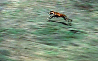 Wild Dingo and movement, Australia