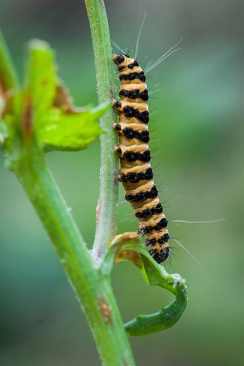 Cinnabar moth caterpillar (Tyria jacobaeae) on ragwort, early July.