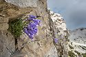 Zois' Bellflower {Campanula zoysii} growing in a crevice on a limestone cliff face. Triglav National Park, Julian Alps, 2000 m, Slovenia. July.