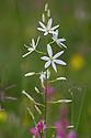 St Bernard's Lily {Anthericum liliago} Nordtirol, Austrian Alps. June.