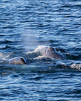 bowhead whale, Balaena mysticetus, calf, surfacing next to diving mother, Franz Josef Land, Arctic Circle, Russia, Barents Sea, Arctic Ocean
