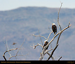 Bald Eagles, Avian Nonchalance, Bosque del Apache Wildlife Refuge, New Mexico