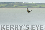 One of the four eagles in flight after been released in Tarbert on Sunday.
