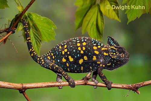 CH39-503z  Female Veiled Chameleon in display colors, Chamaeleo calyptratus