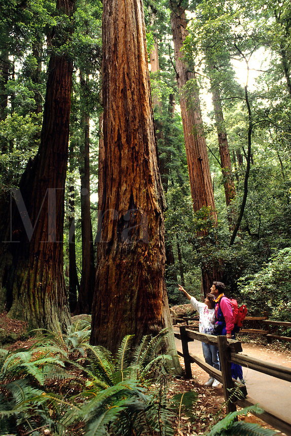 Old  Redwood trees and trail with tourist enjoying the  Muir Woods near San Francisco Californi