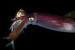 Reef squid catching fish, Sepioteuthis seipoidea, Black Water; Gulf Stream Current off SE Florida; Plankton; larval fish; pelagic larval marine life; plankton creatures, marine behavior, squid behavior