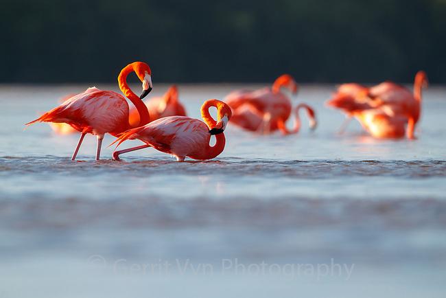 American Flamingo (Phoenicopterus ruber) pair. Yucatan, Mexico.
