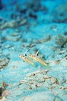 White-rayed shrimp goby, Stonogobiops yasha, Amami-ohsima island, Kagoshima, Japan, Pacific Ocean