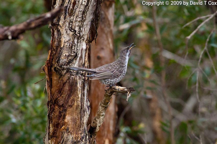 Little Wattlebird, Yuragir NP, NSW, Australia