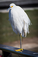 A Snowy egret stands on one leg while warily eyeing human visitors to  the Duck Pond city park.