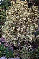 Rhamnus alaternus 'Variegata' - Variegated Buckthorn, tall variegated foliage shrub in Los Angeles County Arboretum