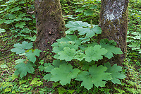 Devils club plants in the Tongass National Forest, Southeast, Alaska