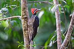 Male Lineated Woodpecker (Dryocopus lineatus) in forest canopy. Paujil Nature Reserve, Magdalena Valley, Colombia.