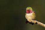Broad-tailed Hummingbird on Tree Branch