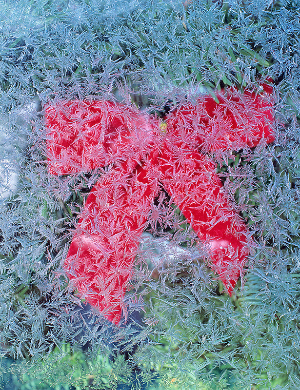 Frost on window with Christmas bow.