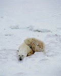 A polar bear naps on the ice with her cub curled up next to her in Hudson Bay, Manitoba, Canada.