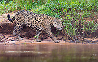 All of the species in The Pantanal that need to access the river take a path perpendicular to the water.  The Jaguar (Panthera onça) patrols parallel to the water to ambush its prey.