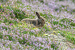 "SEE MAIN IMAGE<br /> <br /> Pictured:  You can't see me....a mountain hare appears to make an unsuccessful attempt at hiding from a watching photographer.<br /> <br /> The amusing episode was captured by photographer Karen Miller in the Scottish Highlands.<br /> <br /> Karen said, ""I was lucky to spot her and after a while while she started grooming herself.  They often do things that look great in images and I had no idea what I'd captured at the time.""<br /> <br /> Please byline:  Karen Miller/Solent News<br /> <br /> © Karen Miller/Solent News & Photo Agency<br /> UK +44 (0) 2380 458800"