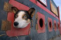 Tim Osmar's Dog *Bonnie* in Dog Box @ Willow Restart.Alaska 2004