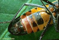 HE05-019a  Large Milkweed Bug Male, ventral surface, Oncopeltus fasciatus.