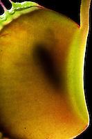 Venusfliegenfalle, Venus-Fliegenfalle, Fliege als Beutetier, Fliege ist im komplett geschlossenen Fangblatt eingesperrt und wird verdaut, Durchlicht, Fleischfressende Pflanze, Karnivore, Insektivore, Dionaea muscipula, Zuchtform, Venus Flytrap, Venus's Flytrap, Venus' Flytrap, Venus Fly Trap, Venus's Fly Trap, Venus' Fly Trap, Fly-Trap