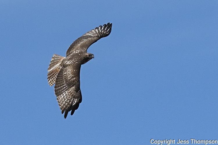 Juvenile rufous-morph Red-tailed Hawk, West Texas roadside