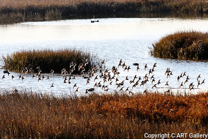 Terns at Dusk, Back Bay, CA.