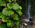 Large-leaved nalca plants and tiny cascade, Rio Cisnes, Carretera Austral, Aisen Region, Patagonia, Chile, southern Chile
