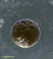 FR21-012c  Wood Frog - egg with developing embryo, 12-16 cell stage - Lithobates sylvaticus, formerly Rana sylvatica