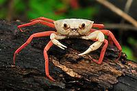 .Forest Crab (Madagapotamon humberti), adult, Montagne des Français Reserve, Antsiranana, Northern Madagascar