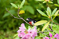 rose-breasted grosbeak, Pheucticus ludovicianus, male perched in spring shrub, Nova Scotia, Canada