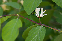 Rote Heckenkirsche, Gewöhnliche Heckenkirsche, Gemeine Heckenkirsche, Hundsbeer, Teufelskirsche, Teufelsbeer, Lonicera xylosteum, European Fly Honeysuckle, Dwarf Honeysuckle, Fly Woodbine