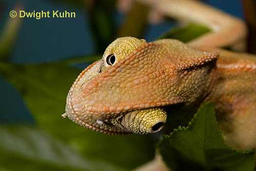CH47-735z  Veiled Chameleon three month old young close-up of face and eyes, Chamaeleo calyptratus