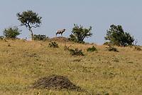 Tanzania. Serengeti. Topi on a Hillside.