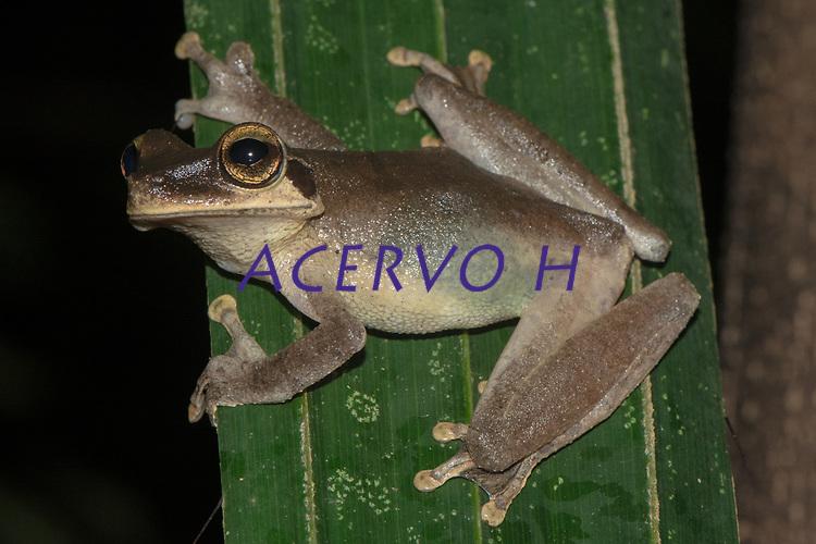 Osteocephalus sp.<br /> .<br /> O gênero Osteocephalus é bastante diverso na Amazônia, mas muitas das espécies do grupo ainda não foram oficialmente descritas - ou seja, ainda não possuem nome científico. Mais estudos de anatomia, genéticos e de comportamento são necessários para que a diversidade desse grupo seja compreendida. <br /> <br /> A maioria das espécies de Osteocephalus é arbotícola, e os animais podem ser encontrados sobre a vegetação ou habitando o interior de plantas, seja o cano central de bromélias, ou buracos em troncos de árvore.<br /> .<br /> .<br /> Imagem feita em 2017 durante expedição científica para a região do Lago Tefé, Tefé, Amazonas, Brasil. A expedição, financiada pelo  Conselho Nacional de Desenvolvimento Científico e Tecnológico, teve o abjetivo de reencontrar espécies de anfíbios descritas pelo explorador Johann Baptist von Spix no ano de 1824.