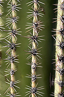 A close-up detail view of spines or spikes on Saguaro cactus ribs in the Cactus Forest area of Saguaro National Park (Rincon Mountain District) near Tucson, Arizona, USA.