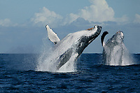 humpback whale, Megaptera novaeangliae, breaching while migrating up the east coast of Africa toward the breeding grounds in Mozambique, Wild Coast, Transkei, South Africa, Indian Ocean, digital composite