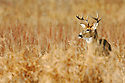 00274-310.11 White-tailed Deer Buck (DIGITAL) is in lowland meadow on fall day after recent snow.  Hunt, hunting.  H3F1