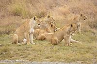 Lion (Panthera leo) morning hunt, lion pack locating its prey, Ngorongoro Crater, Tanzania, Africa